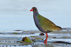 Allen's Gallinule. Photograph in Southern Africa Stock Image