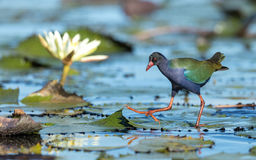 Allen`s Gallinule, Botswana Royalty Free Stock Photo
