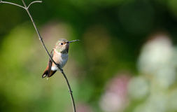 Allen's Humming Bird. On a dry twig, green, white and purple foliage in the background Stock Image