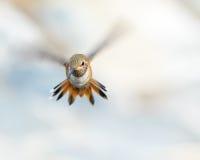 Allen's Humming Bird Flying Stock Photos