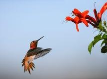 Allen's Hummingbird stock photo