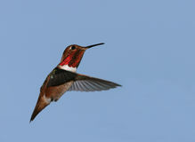 Allen's Hummingbird Stock Photography