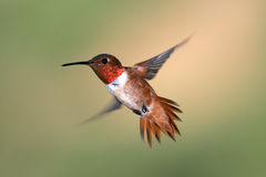 Free Allen S Hummingbird Royalty Free Stock Photography - 4796167