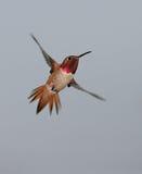 Allen's Hummingbird royalty free stock photos