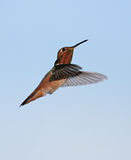Allen's Hummingbird Royalty Free Stock Images