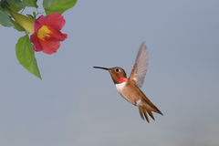 Allen's Hummingbird Royalty Free Stock Photos