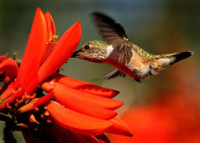 Allen's Hummingbird Royalty Free Stock Image