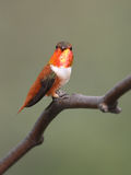 Allen's Hummingbird stock photography