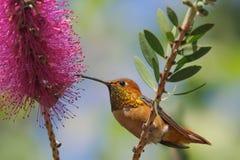 Allen`s hummingbird on callistemon flower. royalty free stock images