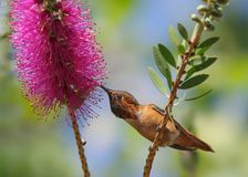 Allen`s hummingbird on callistemon flower. stock photo