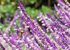 Allen`s Hummingbird drinking nectar from Mexican bush sage flowers. One female Allens hummingbird drinking nectar from Salvia leucantha flowers, know as Mexican royalty free stock image