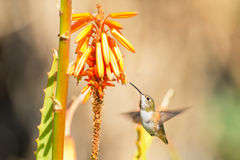 Allen's Hummingbird in Flight, Female Royalty Free Stock Photography