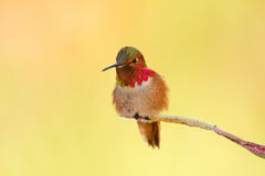 Allen's Hummingbird, Male Stock Images
