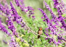 Allen`s Hummingbird perched on Mexican Bush Sage flowers. One male Allens hummingbird perched on Salvia leucantha flowers, know as Mexican bush sage. These birds royalty free stock images