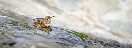 Allen's Hummingbird Royalty Free Stock Photography