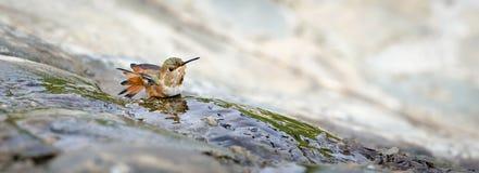 Allen's Hummingbird. (Selasphorus sasin) bathing, tail feathers spread Royalty Free Stock Photography