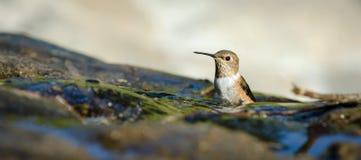 Allen's Hummingbird. (Selasphorus sasin) sitting in the water at El Polin Spring in San Francisco's Presidio Stock Image
