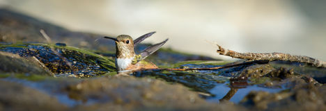 Allen's Hummingbird. (Selasphorus sasin) sitting in the water at El Polin Spring in San Francisco's Presidio Royalty Free Stock Image