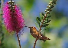 Allen-` s Kolibri Lizenzfreie Stockfotos
