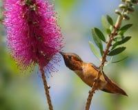 Allen-` s Kolibri auf callistemon Blume Stockbilder