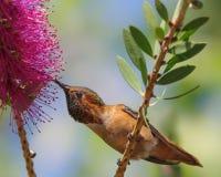 Allen-` s Kolibri auf callistemon Blume Lizenzfreie Stockfotografie