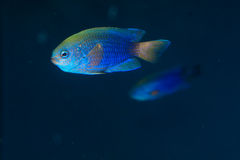 Allen's or Neon Damselfish