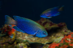 Allen's or Neon Damselfish Stock Images