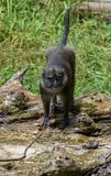 Allen`s Swamp Monkey. The Allen`s swamp monkey Allenopithecus nigroviridis is a primate species categorized in its own genus Allenopithecus in the Old World royalty free stock photos