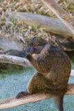 Allen's swamp monkey Royalty Free Stock Photos