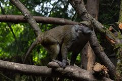 Allen`s Swamp Monkey from lowland forests of the central Congolian basinon on a tree