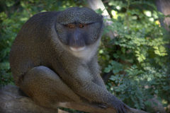 Allen's Swamp Monkey Stock Images