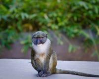 Allen \ 'scimmia della palude di s Fotografia Stock Libera da Diritti