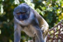Allen \ 'scimmia della palude di s Fotografie Stock Libere da Diritti