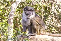 Allen Swamp Monkey na rocha fotos de stock