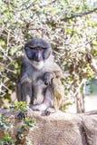 Allen Swamp Monkey na rocha foto de stock