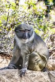 Allen Swamp Monkey na rocha fotografia de stock