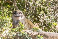 Allen Swamp Monkey vaggar på Royaltyfri Bild