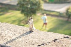 Allenamento dello scoiattolo con l'uomo ai precedenti Immagine Stock