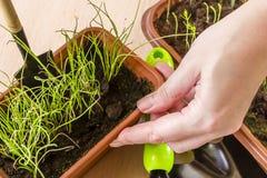 Allenamento primaverile delle plantule per il periodo di estate Fotografie Stock
