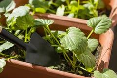 Allenamento primaverile delle plantule per il periodo di estate Fotografia Stock Libera da Diritti