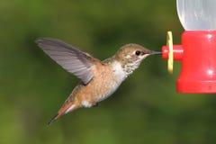 Allens蜂鸟Selasphorus sasin 库存照片