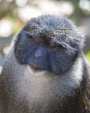 Allens bagna małpa Zdjęcia Stock