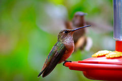 Allens Hummingbird Feeding Stock Images