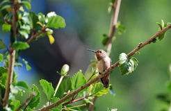 An Allens Hummingbird in a Hibiscus bush. Image shows a female Allens Hummingbird (Selasphorus sasin) resting in a Hibiscus bush. The Allens Hummingbird is Stock Images