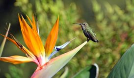 Allens Hummingbird resting on a Bird of Paradise flower. Royalty Free Stock Photos