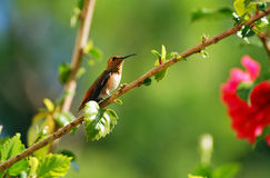 An Allens Hummingbird resting in a Hibiscus bush. Image shows a female Allens Hummingbird (Selasphorus sasin) resting in a Hibiscus bush. The Allens Hummingbird Stock Image