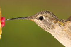 Allens Hummingbird (Selasphorus sasin) Royalty Free Stock Photography