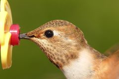 Allens Hummingbird (Selasphorus sasin) Stock Photo