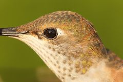 Allens Hummingbird (Selasphorus sasin) Stock Images
