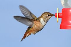 Allens Hummingbird (Selasphorus sasin) Stock Image